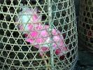 Kampfhahn (aber warum nur rosa lackiert?)
