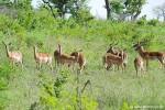 Impala Herde