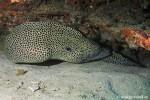 Jaguarmuraene - Gymnothorax isingteena