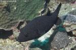 Kugelfisch - Arothron meleagris
