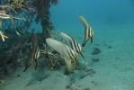 Fledermausfische am künstlichen Riff.