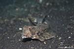 Leierfisch - Callionymus neptunius