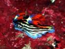 Neonsternschnecke - Nembrotha purpurlineolata