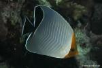 Orangekopf-Falterfisch