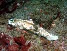 Prachtsternschnecke - Glossodoris atromarginata
