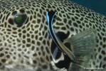 Putzerlippfisch an Riesenkugelfisch