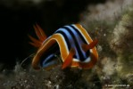 Pyjama-Chromodoris