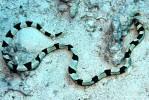 Ringelschlangenaal
