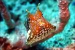 Rückendorn-Kofferfisch
