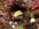 Saebelzahn-Schleimfisch