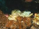 Schaukelfisch