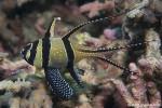 Schneeflocken-Kardinalfisch