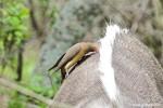 Vogel auf Nyala