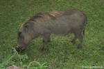Warzenschweine liefen in der Anlage herum