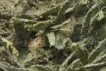 Gymnodoris ceylonica