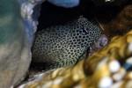Leoparden-Lippenzähner