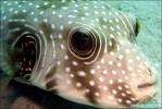 Weißflecken-Kugelfisch