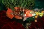 Kometstreif-Lippfisch