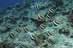 Wimpelfisch-Schwarm
