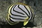 Schwarzstreifen-Falterfisch
