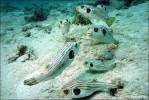 Streifen-Kugelfische